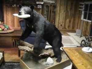 Bear Full Body Mount W Oak Base Pine Grove For Sale In