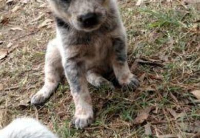 Search Blue Heeler Puppies For Sale In Alabama