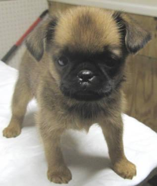 Very Cute Couple Wallpaper Ckc Brussels Griffon Rough Coat Puppies For Sale In