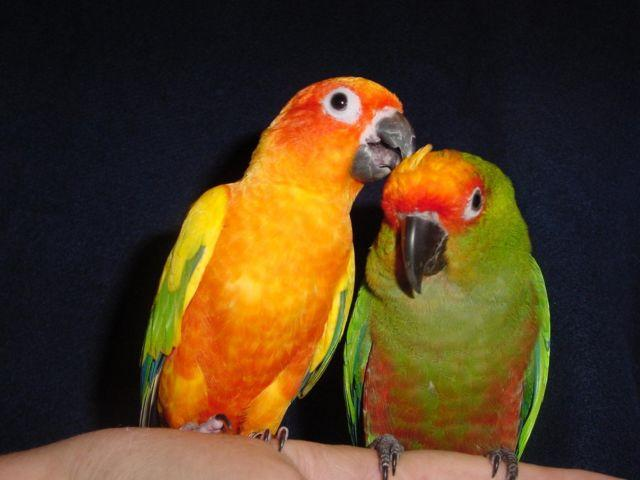Image result for bonded sun conure