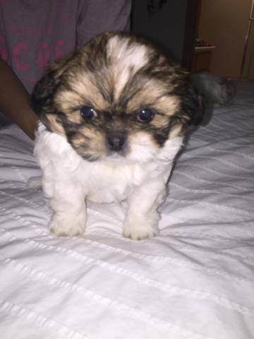 Cute Peekapoo puppies for sale (2 months) for Sale in ...