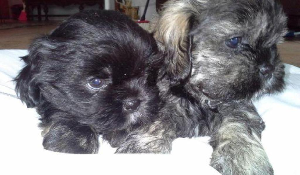 Shih Tzu Puppies For Adoption In Sacramento Ca Photos Of Animals