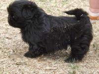 EASTER - Shih Tzu mix puppies for Sale in Lubbock, Texas ...