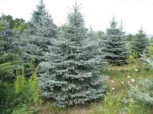 evergreen landscape trees trumansburg