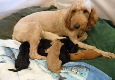 Goldendoodle Puppies For Sale In Washington