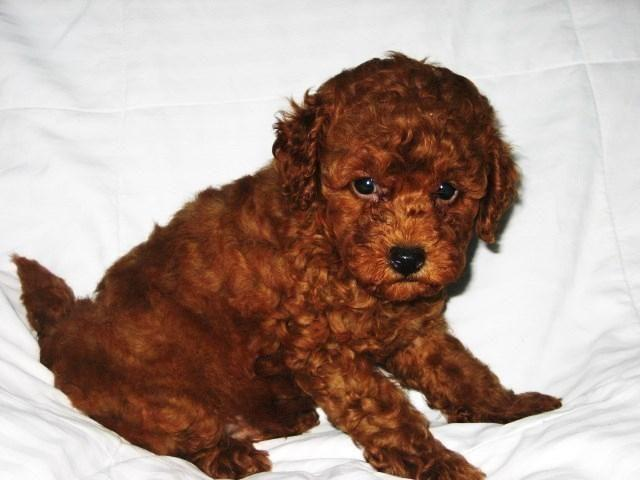 F1b Mini Toy Dark Red Goldendoodle For Sale In Terrell