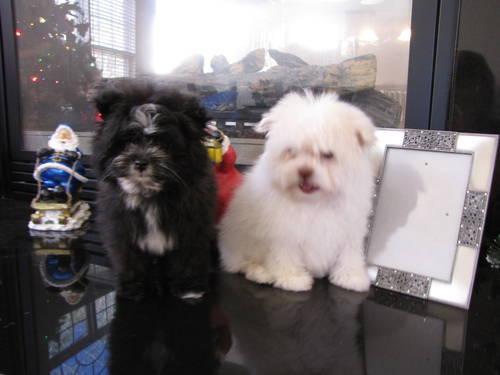Gorgeous Postie Puppies PomeranianWestieYorkie Mix