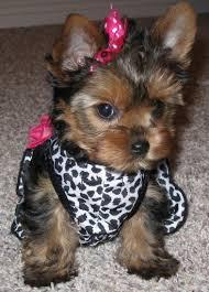 Teacup Puppies For Sale Nc : teacup, puppies, Healthy, Teacup, Yorkie, Puppies, Adoption, Raleigh,, North, Carolina, Classified, AmericanListed.com