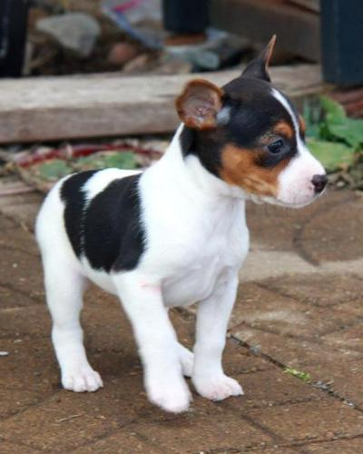 Toy Rat Terriers For Sale : terriers, Intelligent, Super, Terrier, Puppies, Orlando,, Florida, Classified, AmericanListed.com