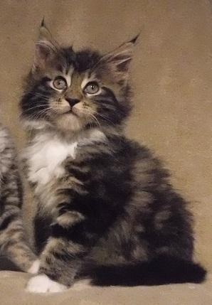 Maine Coon Kittens For Sale Tn : maine, kittens, Registered, Maine, Kittens, Chamoionship, Lines, Knoxville,, Tennessee, Classified, AmericanListed.com