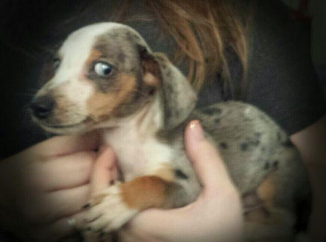 Rare blue dappledpiebald dachshund with blue eyes for