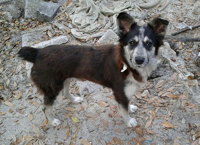 Border Collie Rescue Tampa
