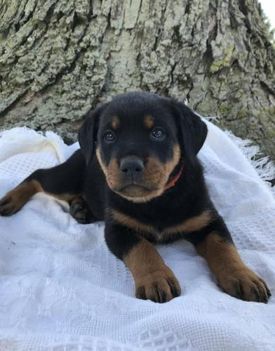 Rottweiler Puppies Ohio : rottweiler, puppies, Rottweiler, Puppy, Adoption,, Rescue, Apple, Creek,, Classified, AmericanListed.com