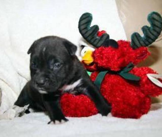 Shepherd Dexter Medium Baby Male Dog For Sale In Greensboro Georgia