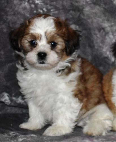 Shichon Puppies For Sale Near Me : shichon, puppies, Shichon, Puppy, Adoption,, Rescue, Northwood,, Hampshire, Classified, AmericanListed.com