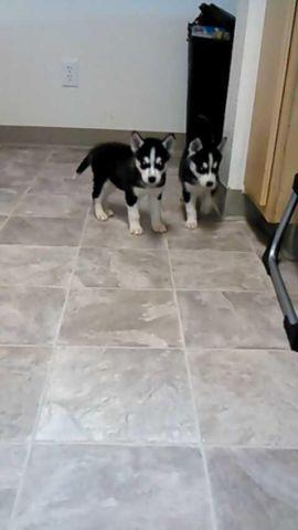 siberian husky puppies for