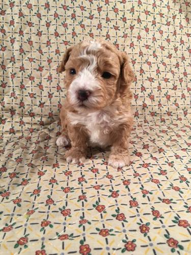 Toy Poodles For Sale In Michigan : poodles, michigan, Poodle, Puppy, Left], Holland,, Michigan, Classified, AmericanListed.com