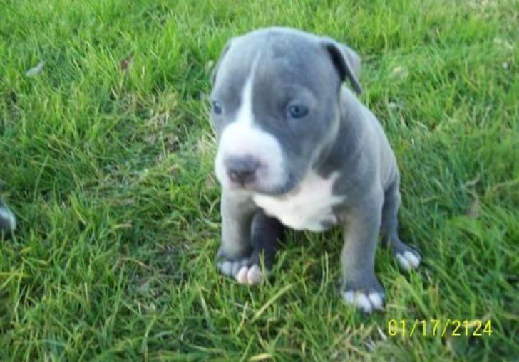 Blue Pitbull Puppies For Sale In Pa