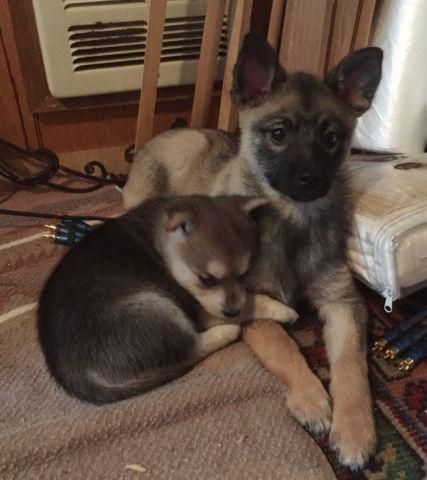 kleeinu and mini husky