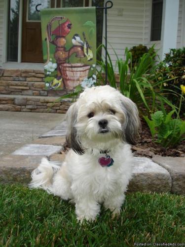Shichon Puppies For Sale Near Me : shichon, puppies, Zuchon, Puppies, Cheap, Online