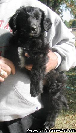 Mini Aussiedoodle Illinois : aussiedoodle, illinois, AUSSIEDOODLE, PUPPY, Price:, Brookville,, Illinois, Online