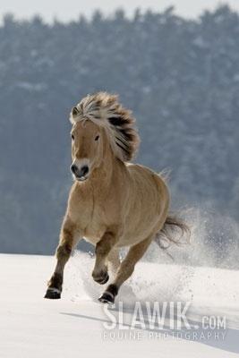 New Cute Wallpaper Fjord Horse Horses Photo 1256814 Fanpop