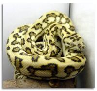 Carpet Python Ontario - Carpet Vidalondon