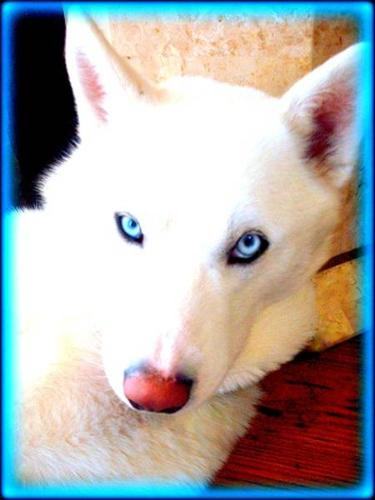 Rare Snow White Pure Siberian Husky Puppies   for