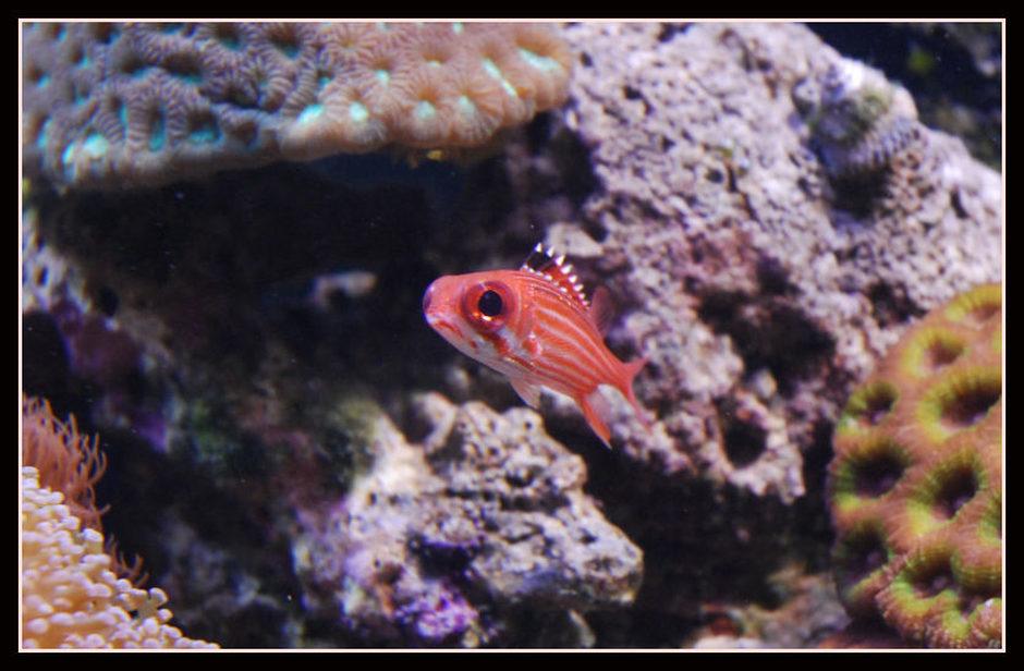 squirrelfish striped sargocentron xantherythrum
