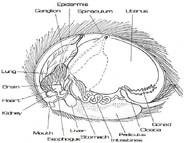 Tribble Anatomy