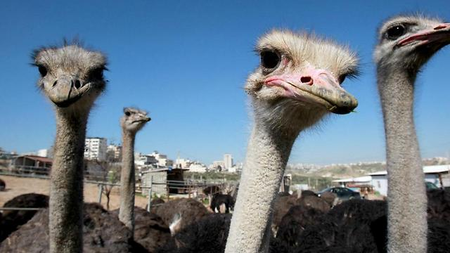 Ostriches have been farmed for meat for the last three years near the West Bank city of Bethlehem (Photo: AFP)