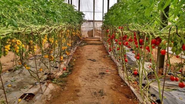 Теплица с мини-томатами. Фото: Вадим Малев