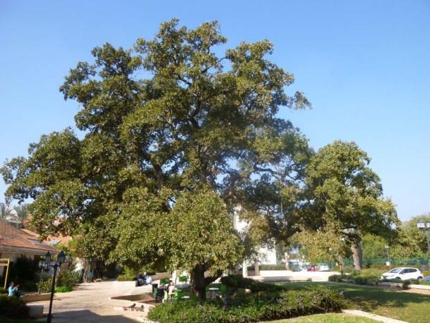 Многовековой дуб в мошаве Нордия