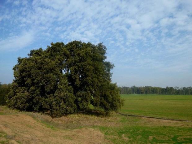 Одинокий дуб в долине Хефер