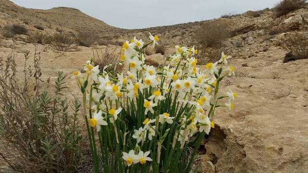 Нарциссы в районе Нахаль-Хацац. Фото: Лион Эвен
