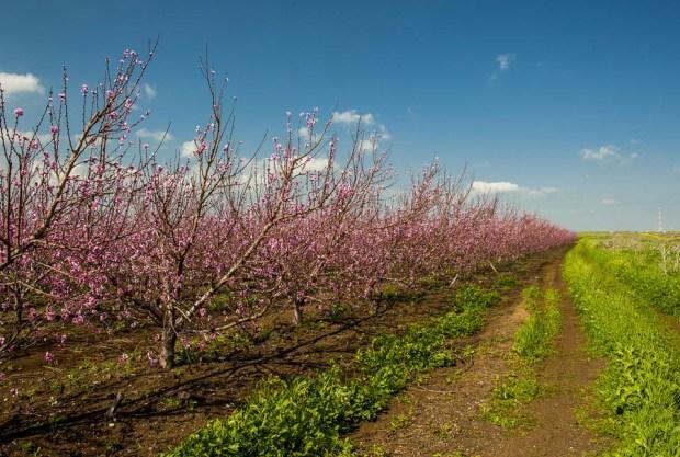 Персиковые сады на Голанах