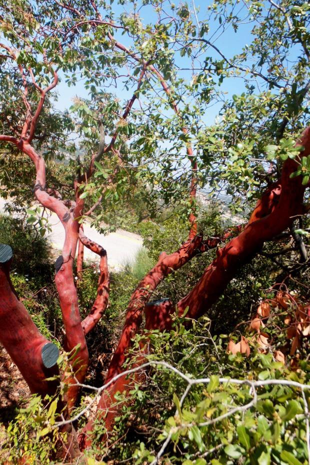 Заросли земляничного дерева. Фото: Леон Левитас