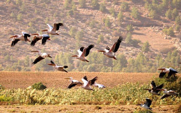 Пеликаны в заповеднике Хула. Фото: Янив Коэн, управление заповедников и парков