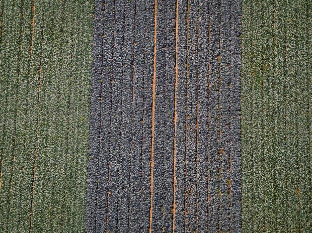Капустное поле в Негеве. Фото: Исраэль Бардуго