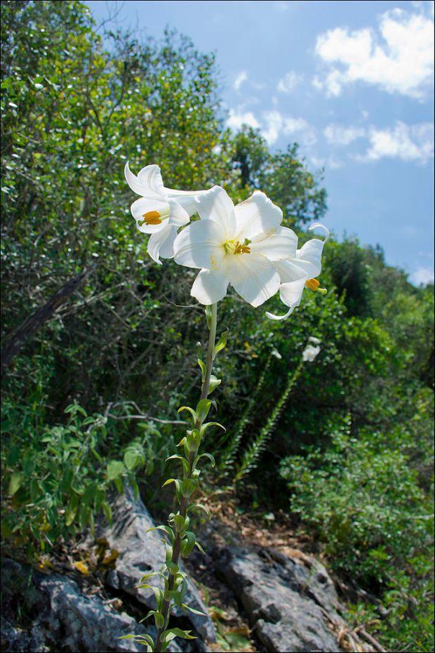 Лилия белоснежная около речки Келах. Фото: Цахи Авнор