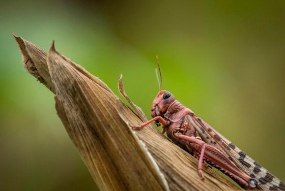 Locust Swarm Kenya East Africa
