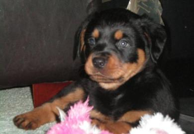 Rottweilers For Sale Calgary