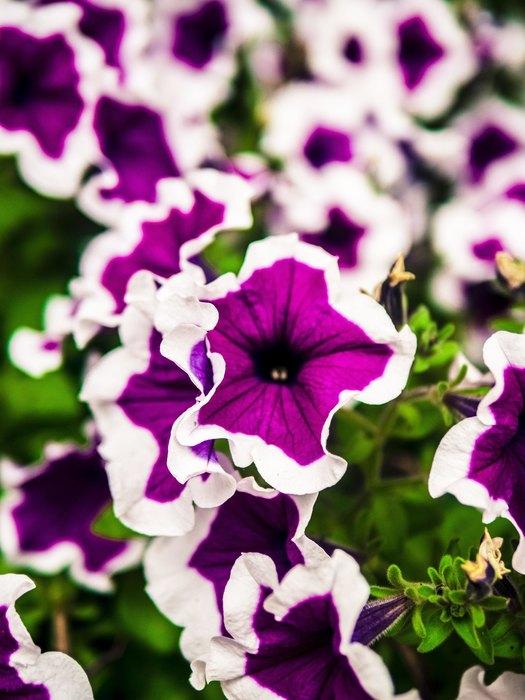 158482219259c050cc60fc7913aa4f43 fitted 740x700 - Петунья, лаванда и еще восемь дачных растений, которые отпугивают вредителей