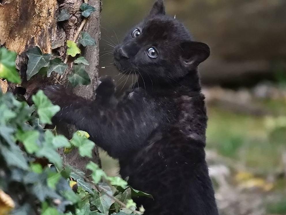 Jaguar Animal Wallpaper Una Pantera Nera 232 Nata Alle Cornelle Si Cerca Il Nome Con