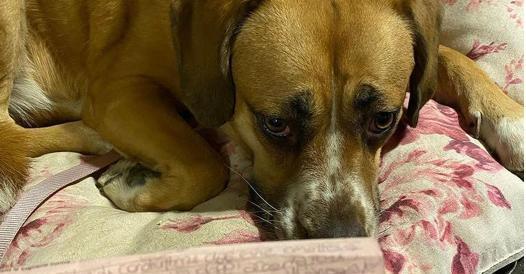 Cane a spasso senza documenti (ma con padrona), multato dai vigili