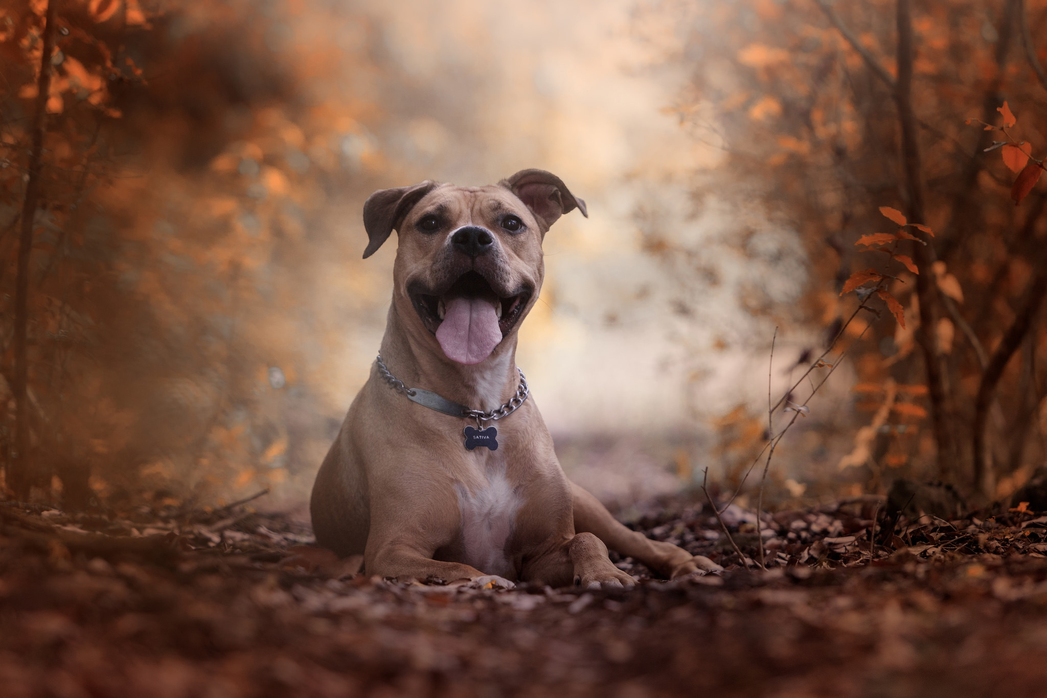 1590x1600 blue nose pitbull wallpaper hd pit bull dog hd wallpaper. American Pit Bull Terrier Hd Wallpaper Background Image 2048x1365