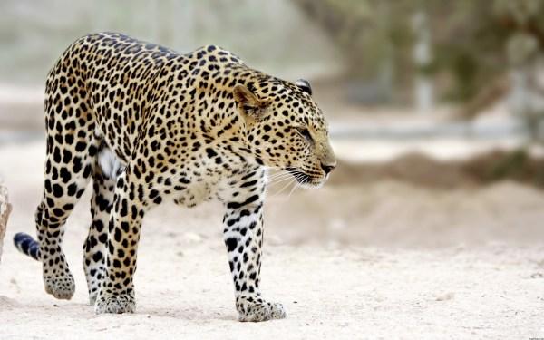 Animals Snow Leopard Walking