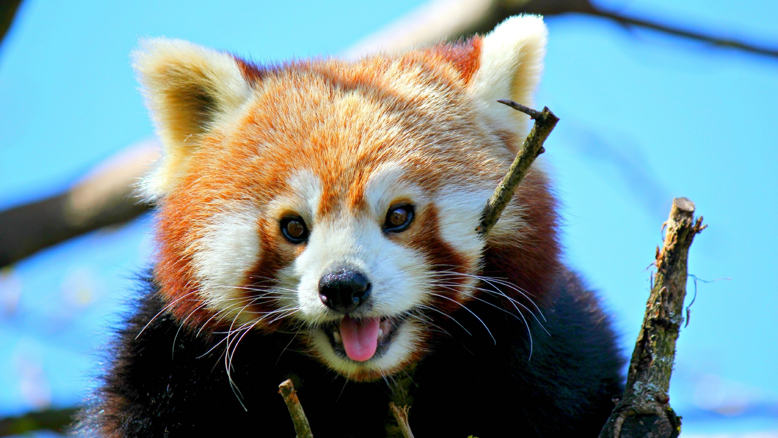Red Panda Full HD Wallpaper and Background Image