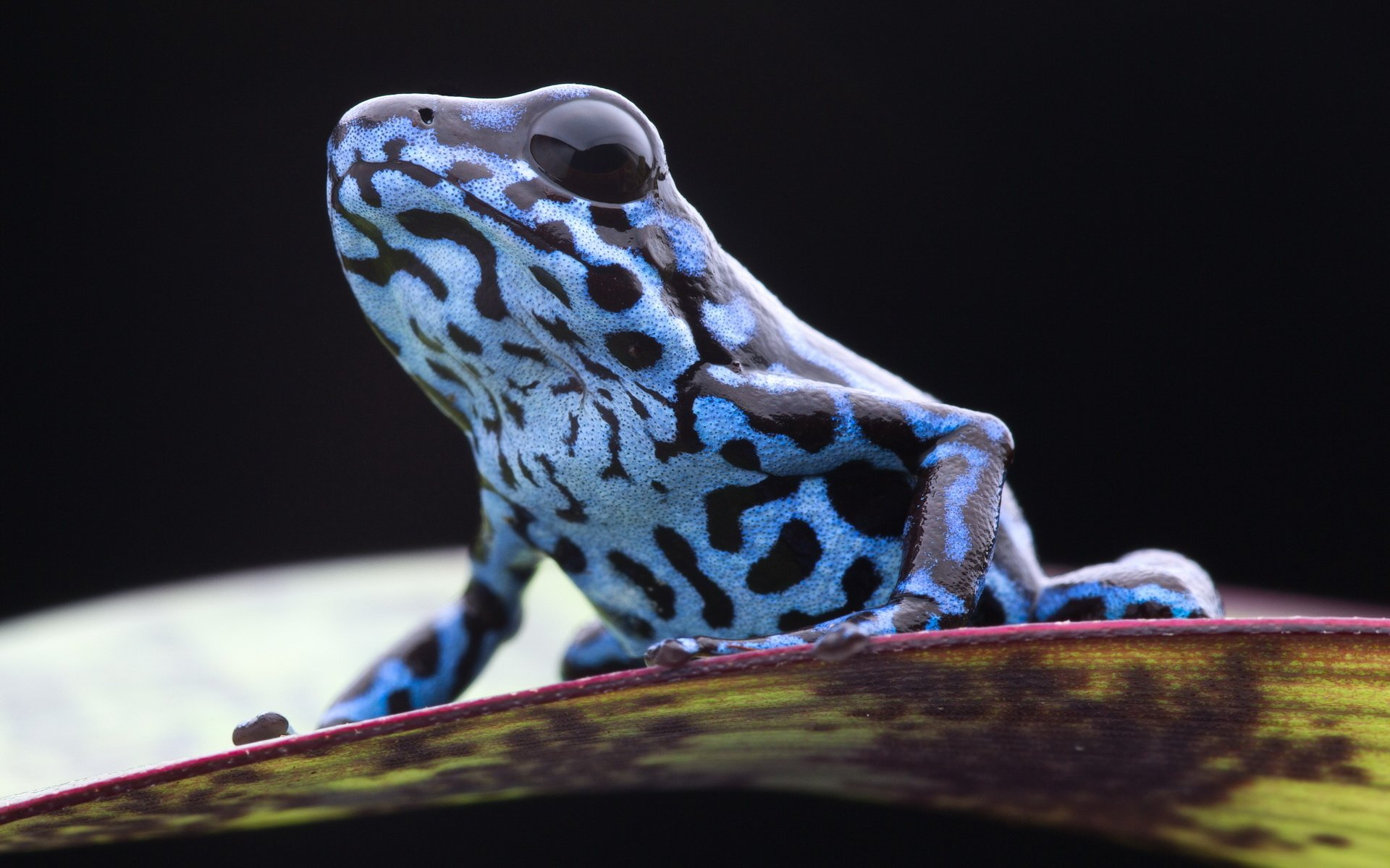 Surface Pro 4 Hd Wallpaper Poison Dart Frog Full Hd Wallpaper And Background Image