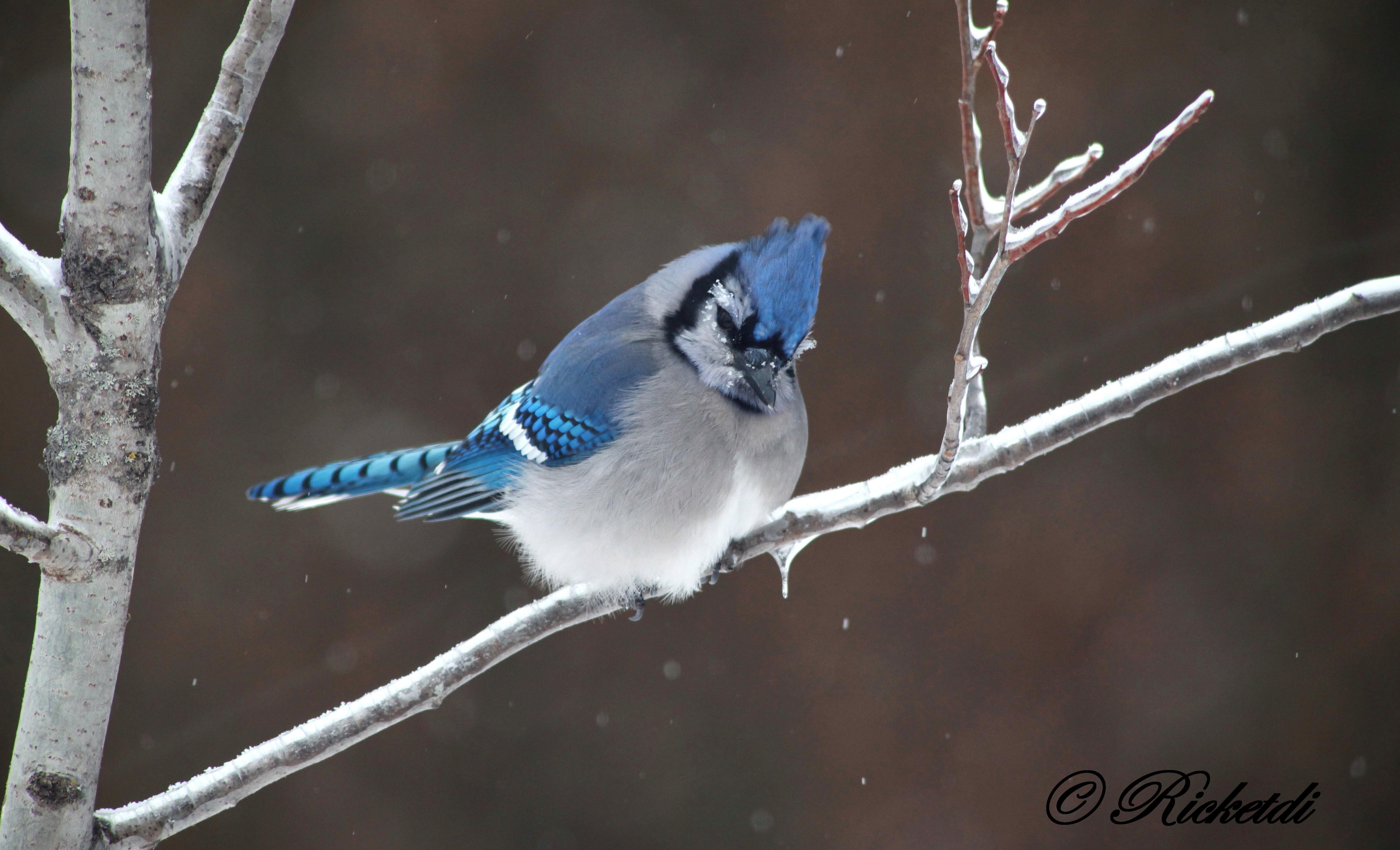 Bird Of Paradise Wallpaper Iphone 5 Blue Jay 5k Retina Ultra Hd Wallpaper And Background Image